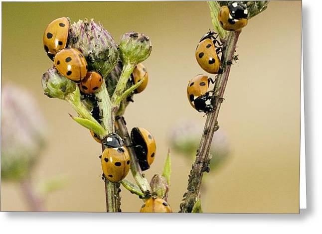 Seven-spot Ladybirds Eating Aphids Greeting Card by Bob Gibbons