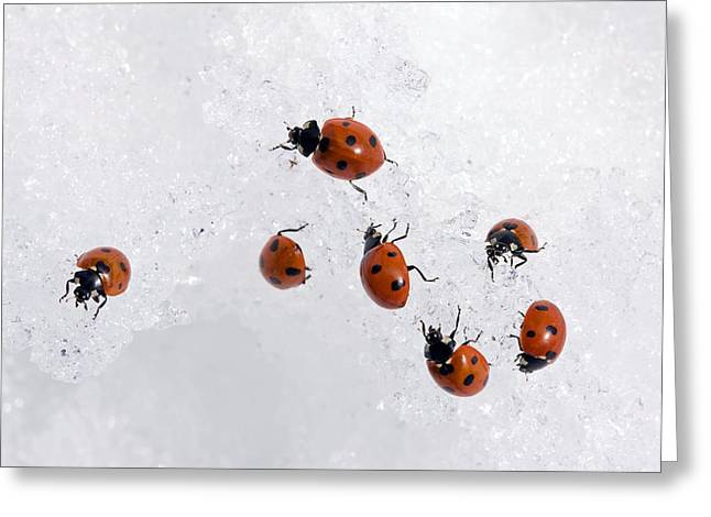 Seven-spot Ladybirds In Snow Greeting Card by Bob Gibbons