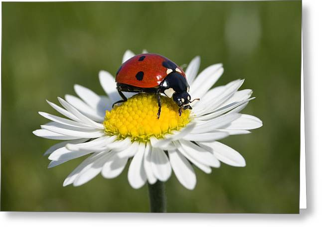 Seven-spotted Ladybird Coccinella Greeting Card by Konrad Wothe