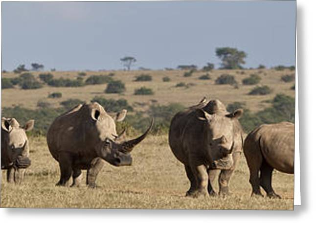 Five Level Greeting Cards - Seven White Rhinos Line Up In Solio Greeting Card by Robin Moore