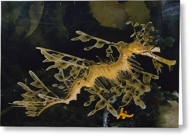Leafy Sea Dragon Photographs Greeting Cards - Several Views Of The Leafy Sea Dragon Greeting Card by Paul Zahl