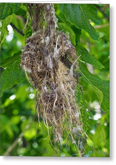 Sunbird Greeting Cards - Seychelles Sunbird Nest Greeting Card by Peter Chadwick