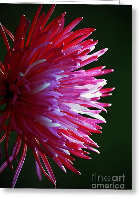 Shelley Myke Greeting Cards - Shades of Pink - Flower Greeting Card by Inspired Nature Photography By Shelley Myke