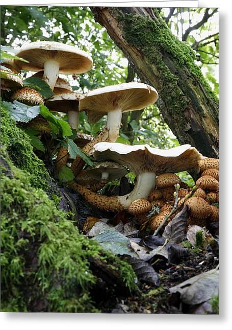 Shaggy Pholiota Fungi Greeting Card by Dr Keith Wheeler