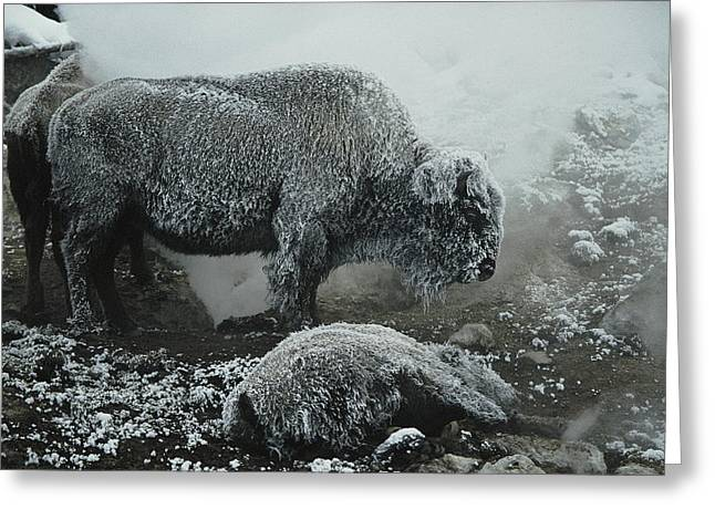 Shaggy With Rime, An American Bison Greeting Card by Michael S. Quinton