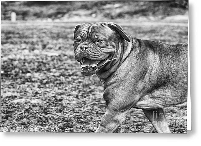 Dog Park Greeting Cards - Shar Pei Greeting Card by Darcy Evans
