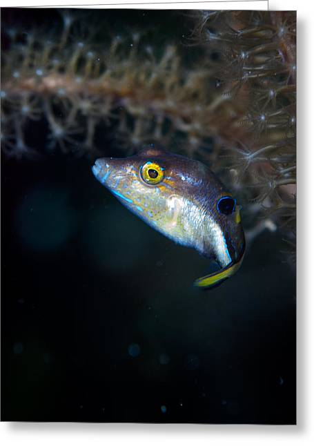 Sharp Nosed Puffer Greeting Card by Jean Noren