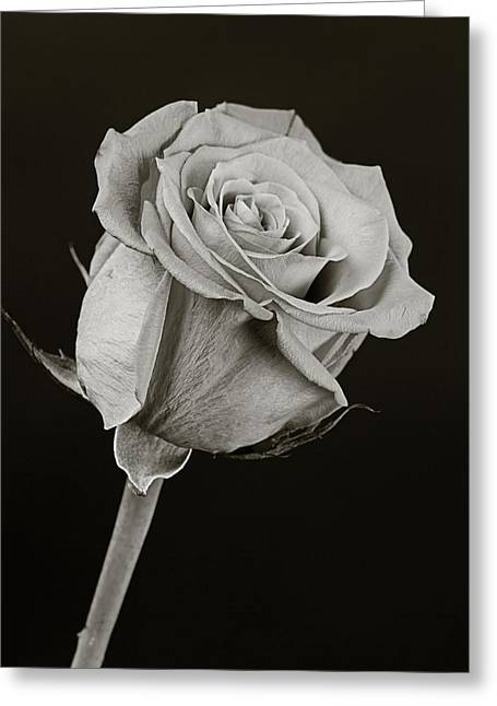 Buds Framed Prints Greeting Cards - Sharp Rose Black and White Greeting Card by M K  Miller