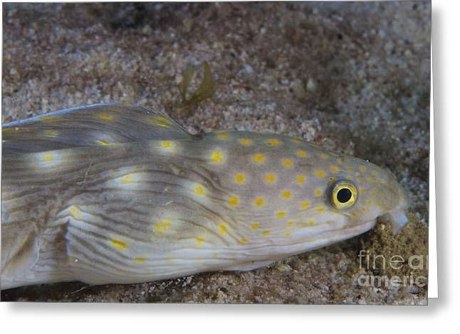 Undersea Photography Greeting Cards - Sharptail Eel Searching For Food Greeting Card by Terry Moore