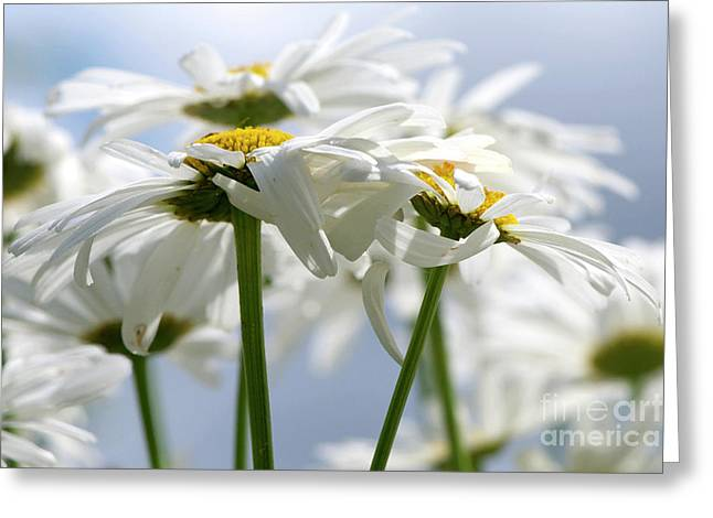 Daisies Mixed Media Greeting Cards - Shasta Daisies dry brushed Greeting Card by Sharon  Talson