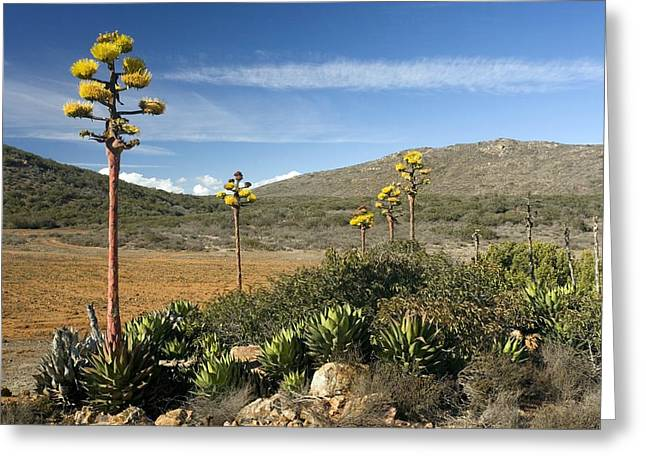 Desertification Greeting Cards - Shaws Agave (agave Shawii) Greeting Card by Bob Gibbons