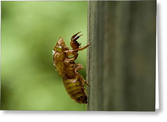 Lifecycle Greeting Cards - Shedded Skin Of 17 Year Cicada Greeting Card by Todd Gipstein