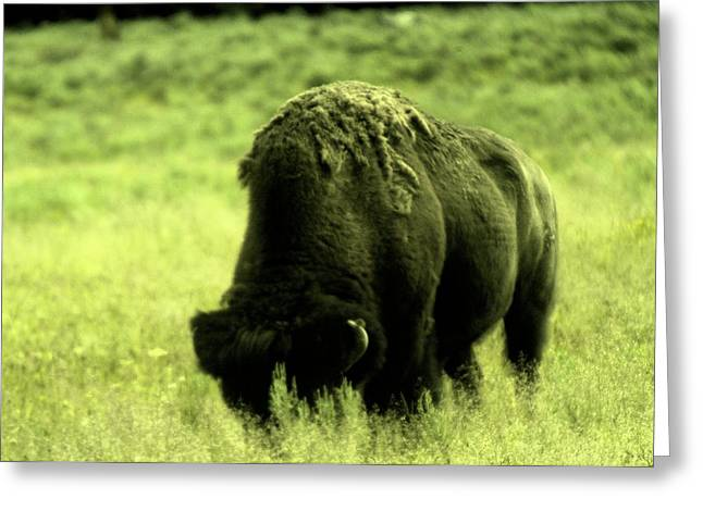 Buffalo Greeting Cards - Shedding Greeting Card by Jeff  Swan