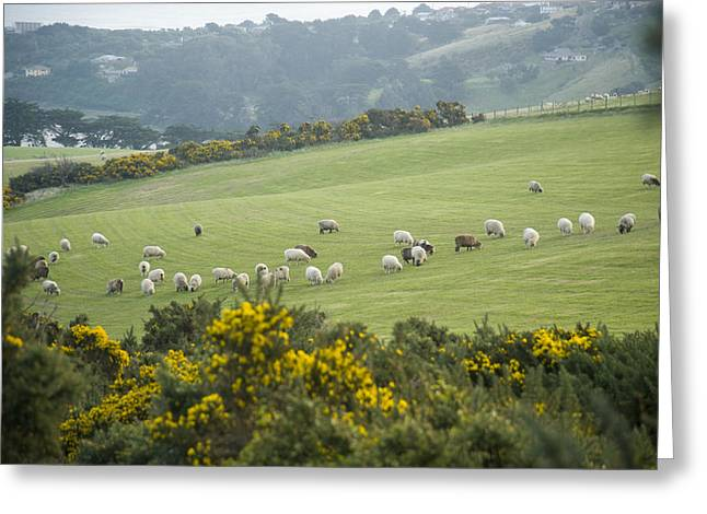 Sheep Graze On The Otago Peninsula Greeting Card by Bill Hatcher