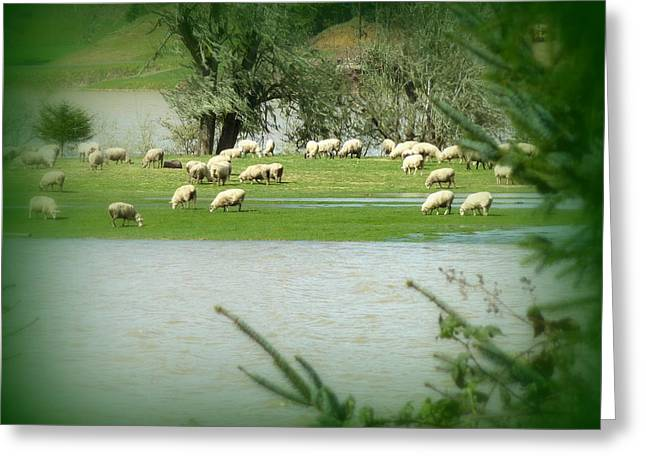 Sheep Grazing Amidst Flood Greeting Card by Cindy Wright