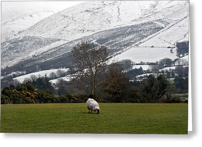 Best Sellers -  - Grazing Snow Greeting Cards - Sheep grazing atThe Galtees  Irelands tallest inland mountains Greeting Card by Pierre Leclerc Photography
