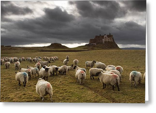 Animal Behaviour Greeting Cards - Sheep Grazing By Lindisfarne Castle Greeting Card by John Short