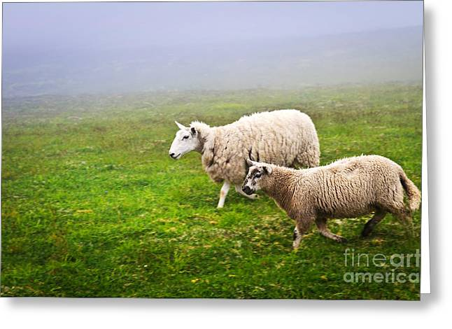 Field Greeting Cards - Sheep in misty meadow Greeting Card by Elena Elisseeva