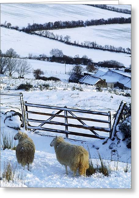 Sheep, Ireland Sheep And A Farm During Greeting Card by The Irish Image Collection