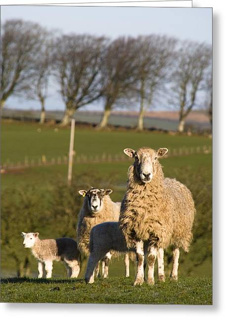 New Britain Greeting Cards - Sheep, Lake District, Cumbria, England Greeting Card by John Short