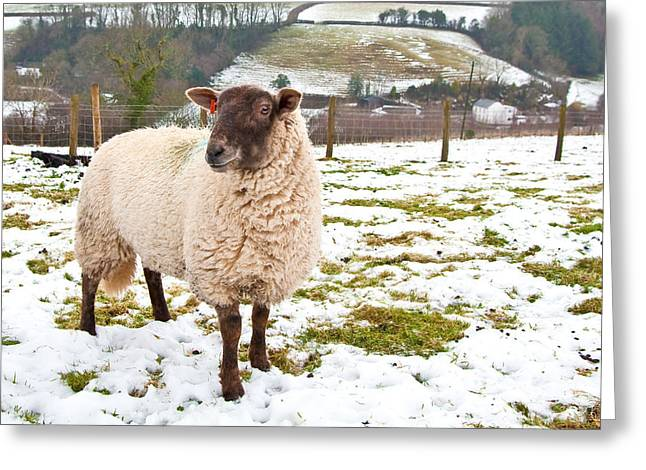 Grazing Snow Greeting Cards - Sheep Greeting Card by Tom Gowanlock