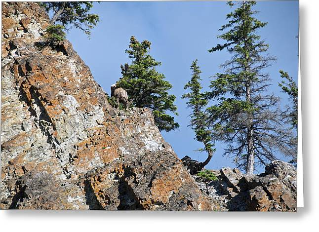 Rocky Mountain Sheep Greeting Cards - Sheep Topside Greeting Card by David Kleinsasser