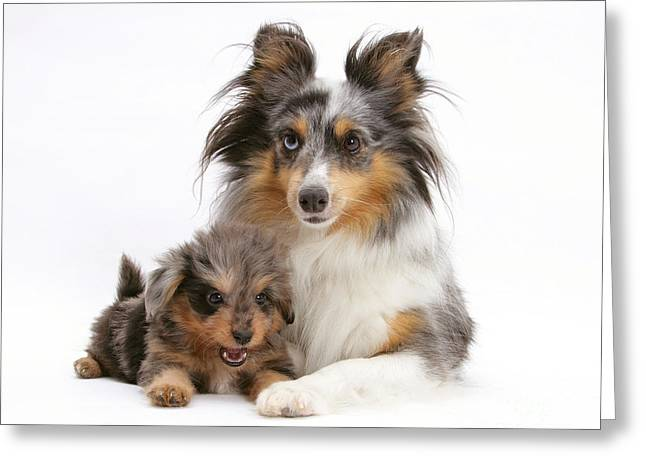 Bred Greeting Cards - Sheepdog With Puppy Greeting Card by Mark Taylor