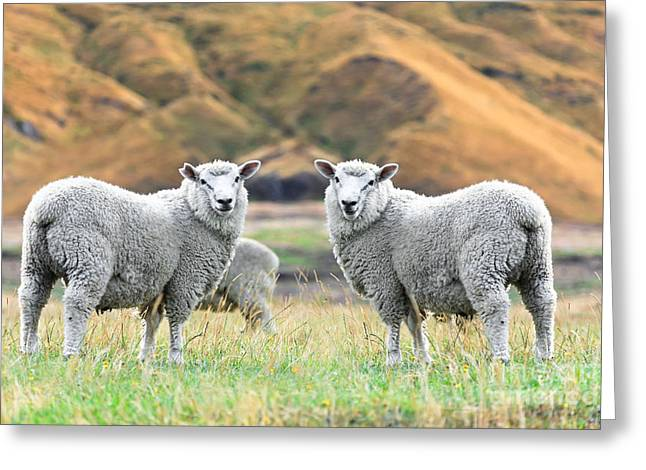 Pastureland Greeting Cards - Sheeps Greeting Card by MotHaiBaPhoto Prints