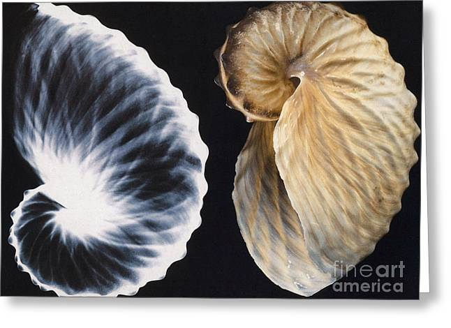 Shell X-ray Greeting Card by Photo Researchers