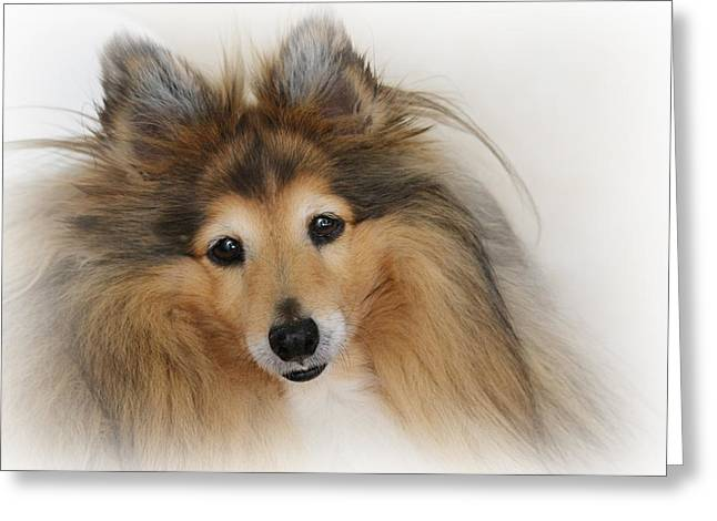 Dog Portrait Greeting Cards - Sheltie Dog - A sweet-natured smart pet Greeting Card by Christine Till