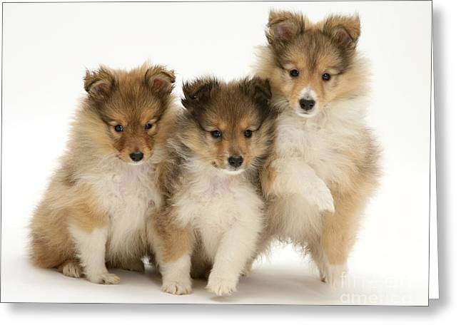 Bred Greeting Cards - Sheltie Pups Greeting Card by Jane Burton