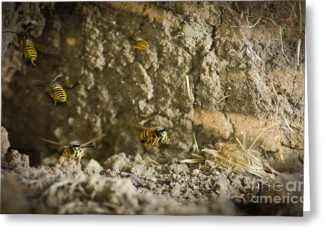 Mud Nest Greeting Cards - SHIFT CHANGE Yellow-jacket wasps flying out to forage as others return to the nest Greeting Card by Andy Smy