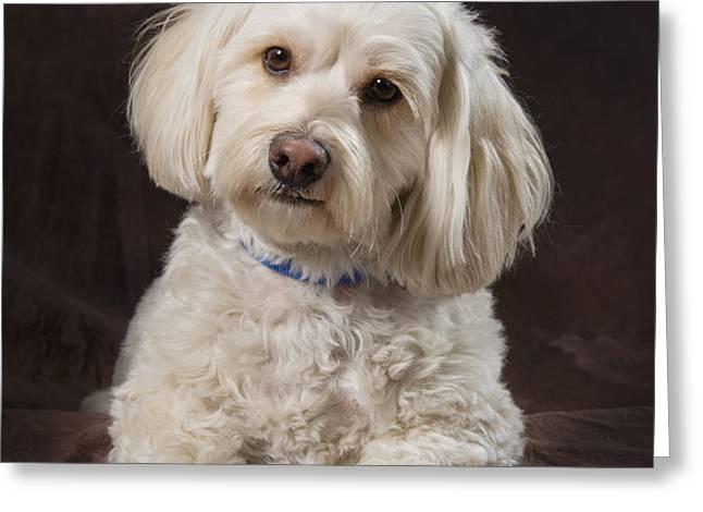 Shih Tzu-poodle On A Brown Muslin Greeting Card by Corey Hochachka