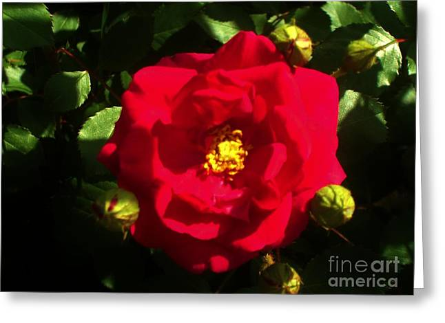 Light Posters Greeting Cards - Shine on My Rose Greeting Card by Marsha Heiken