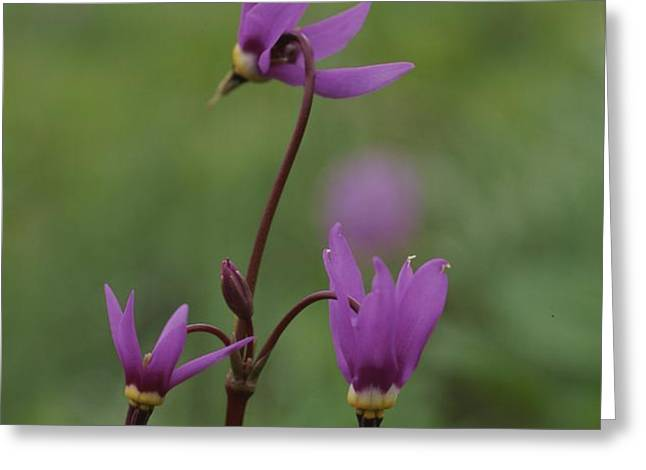 Shooting Star Wildflowers, Close View Greeting Card by Norbert Rosing
