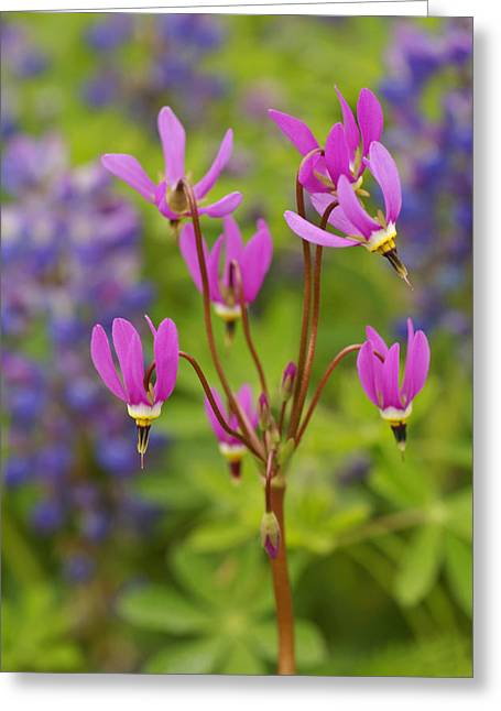 Kelp Forest Greeting Cards - Shooting Star Wildflowers In Boggy Greeting Card by Ralph Lee Hopkins