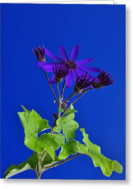 Senetti Photographs Greeting Cards - Shooting Stars Greeting Card by Pepper Link