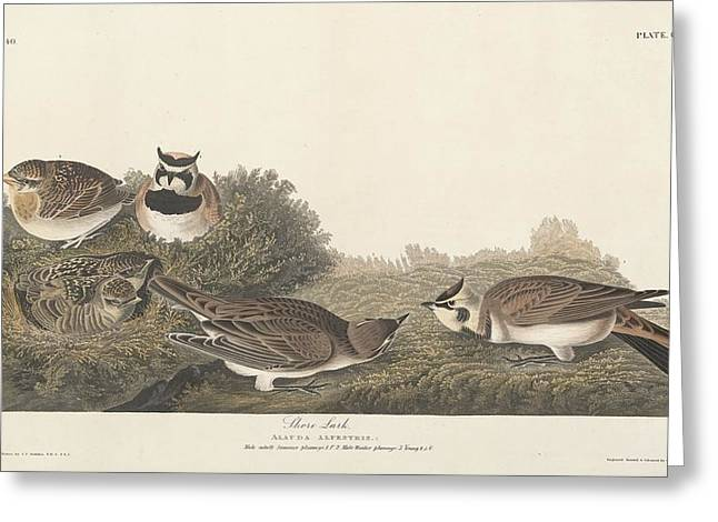 Coloured Plumage Greeting Cards - Shore Lark Greeting Card by John James Audubon