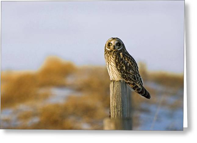 Canadian Prairies Greeting Cards - Short-eared Owl, Alberta, Canada Greeting Card by Philippe Widling