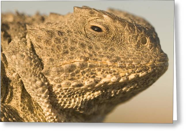 Squinting Greeting Cards - Short-horned Lizard Found In The Little Greeting Card by Phil Schermeister
