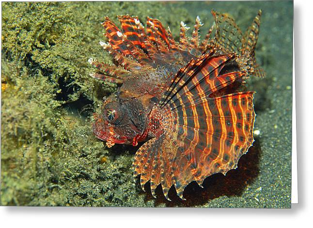 Lionfish Greeting Cards - Shortfin Lionfish Greeting Card by Georgette Douwma