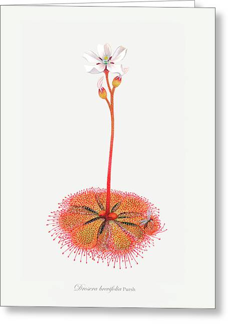 Flower Design Drawings Greeting Cards - Shortleaf Sundew Greeting Card by Scott Bennett