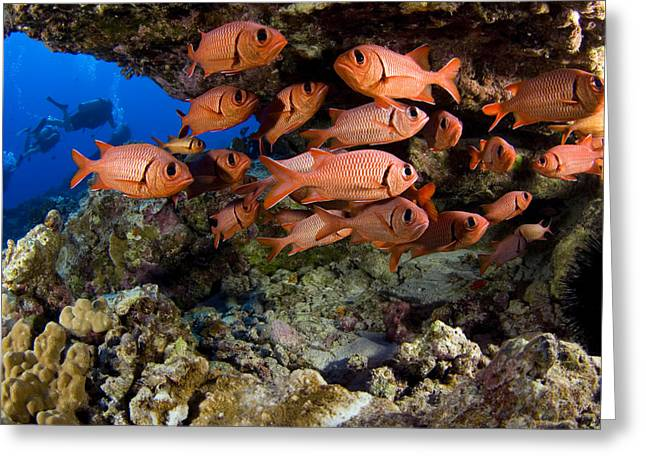 Snorkeling Photos Greeting Cards - Shoulderbar Soldierfish Greeting Card by Dave Fleetham - Printscapes