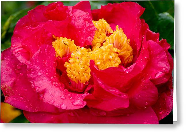 Camellia Photographs Greeting Cards - Show Off Greeting Card by Rich Franco