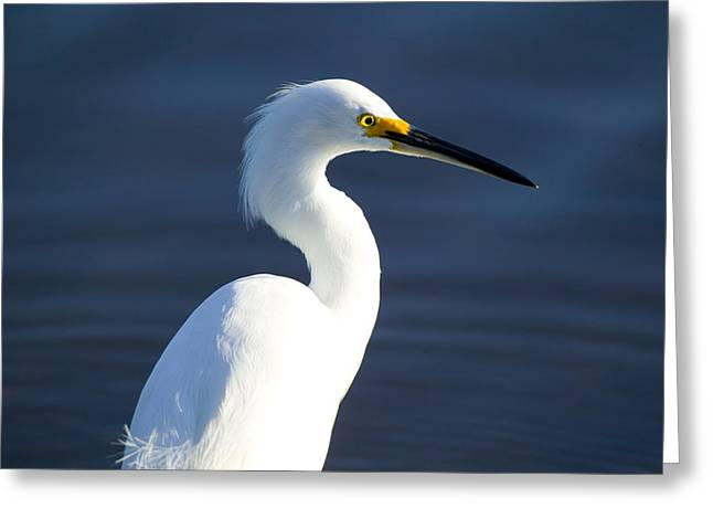 Snowy Egret Greeting Cards - Showy Snowy Egret Greeting Card by Rich Franco