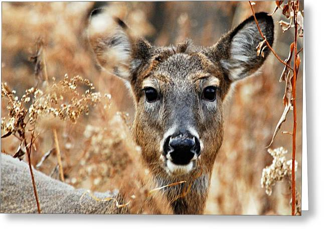 Hiding Greeting Cards - Shy Doe Greeting Card by Larry Ricker