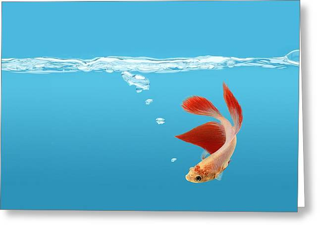 Siamese Fighting Fish Betta Splendens Greeting Card by Don Hammond