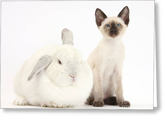 House Pet Greeting Cards - Siamese Kitten And White Rabbit Greeting Card by Mark Taylor
