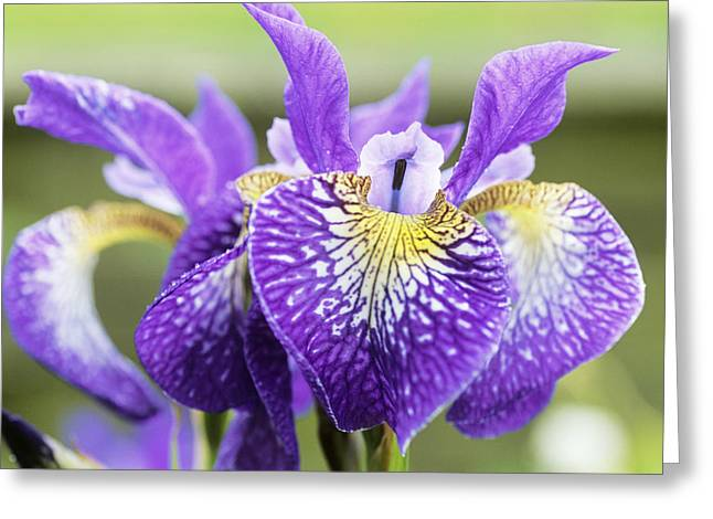 Ledge Photographs Greeting Cards - Siberian Iris (iris silver Ledge) Greeting Card by Archie Young