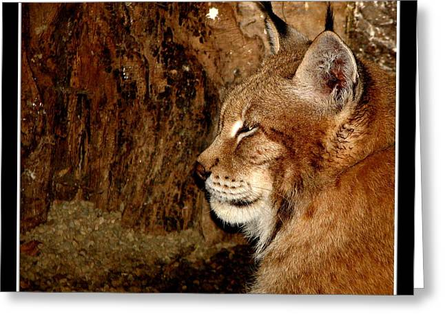 Hawk Creek Greeting Cards - Siberian Lynx Greeting Card by Rose Santuci-Sofranko